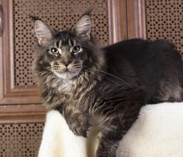 котенок мейн кун Wrangler Estate Pearls*RU в возрасте 8 месяцев