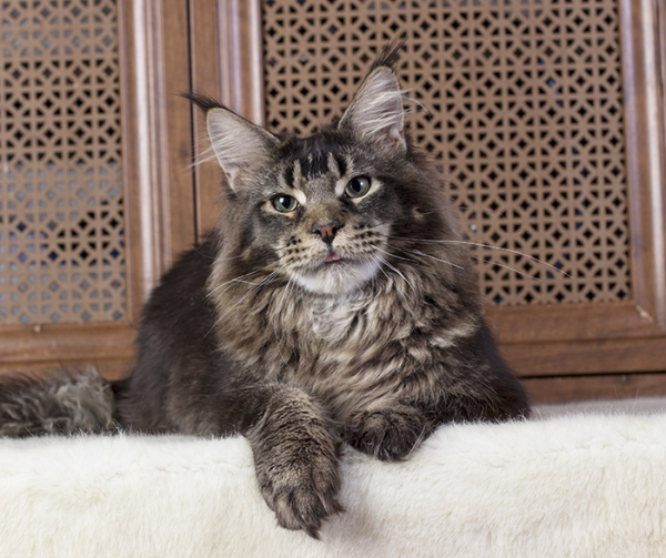 котенок мейн кун Wrangler Estate Pearls*RU окрас черный тикированный