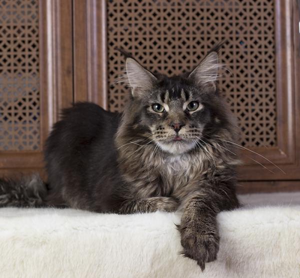 котенок мейн кун Wrangler Estate Pearls*RU, тикированный, возраст 8 месяцев
