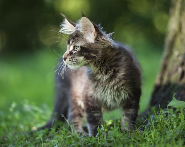 котенок мейн кун Wrangler  из питомника Estate Pearls*RU окрас n 25