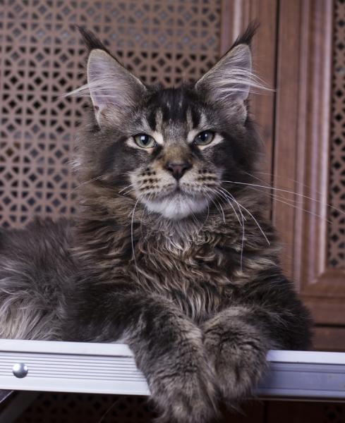 котенок мейн кун Wrangler Estate Pearls*RU возраст 7 месяцев,