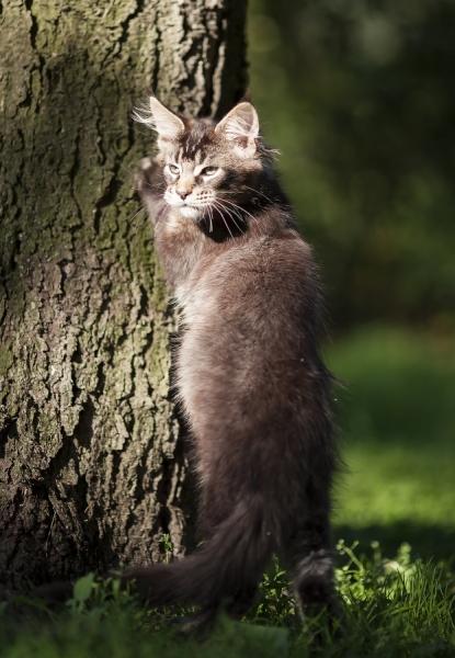 котенок мейн кун Wrangler Estate Pearls*RU 3,5 месяца