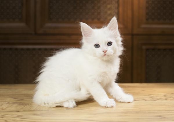 белый котенок мейн кун Yoshiko Estate Pearls. фото в 1,2 месяца,