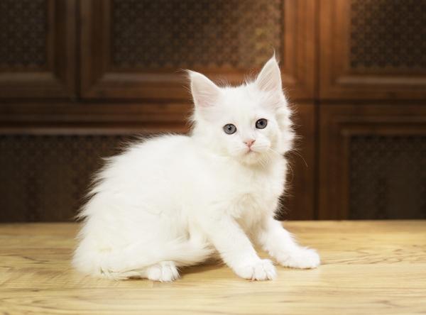 белый котенок мейн кун Yoshiko из питомника Estate Pearls. возраст 1,2 месяца