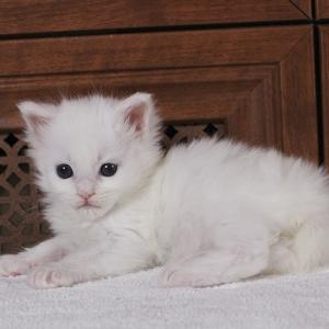 белый котенок мейн кун Yoshiko Estate Pearls