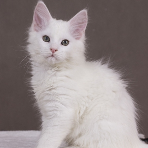 котенок мейн кун Yoshiko из питомника Estate Pearls. фото в возрасте 2 месяца, окрас белый