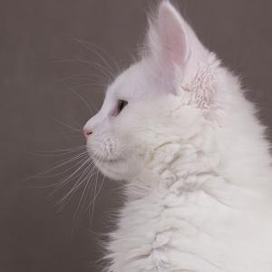 белый котенок мейн кун Yoshiko из питомника Estate Pearls. возраст 2 месяца