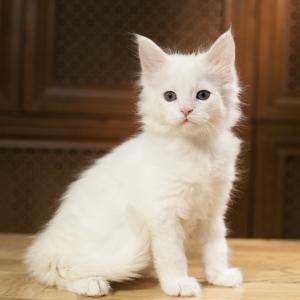 котенок мейн кун Yoshiko Estate Pearls. фото в 1,2 месяца, окрас белый