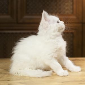 белый котенок мейн кун Yoshiko из питомника Estate Pearls. фото в возрасте 1,2 месяца,