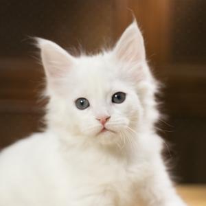 котенок мейн кун Yoshiko из питомника Estate Pearls. фото в возрасте 1,2 месяца, окрас белый