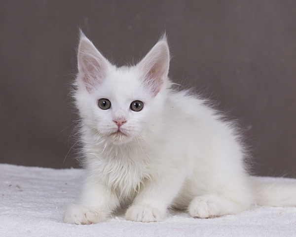 котенок мейн кун Yuki из питомника Estate Pearls. фото в возрасте 2 месяца, окрас белый