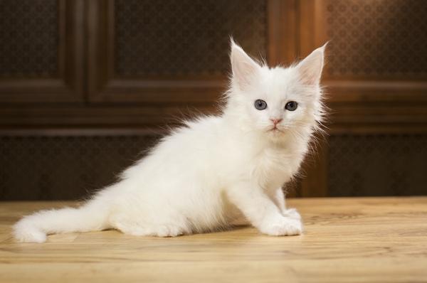 белый котенок мейн кун Yuki из питомника Estate Pearls. фото в возрасте 1,2 месяца,