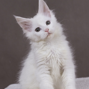 белый котенок мейн кун Yuki из питомника Estate Pearls. возраст 2 месяца