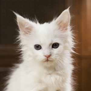 котенок мейн кун Yuki из питомника Estate Pearls. фото в возрасте 1,2 месяца, окрас белый