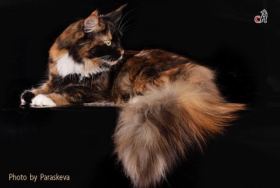 кошка мейн кун Zaza