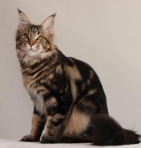 кот мейн кун Velvet