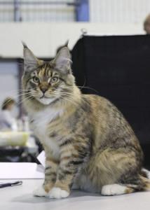 Marseillaise Estate PearlS*RU кошка мейн кун