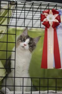 кошка мейн кун Niagara Falls Estate Pearls на выставке . Финляндия