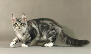 продается кошка мейн кун окрас серебряный мрамор, крупная, здоровая, красивая девочка