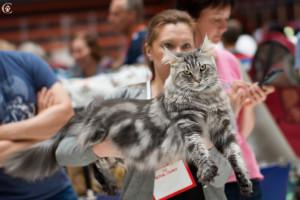 серебряный кот мейн кун из питомника Estate Perls