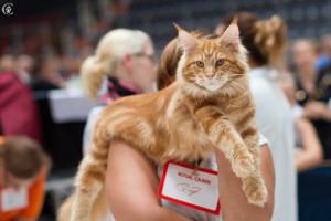 красный кот мейн кун из питомника Estate Perls