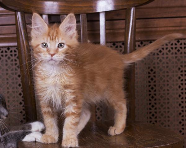 котенок мейн кун Begonia Estate pearls*RU фото в возрасте 3 месяца окрас d 22
