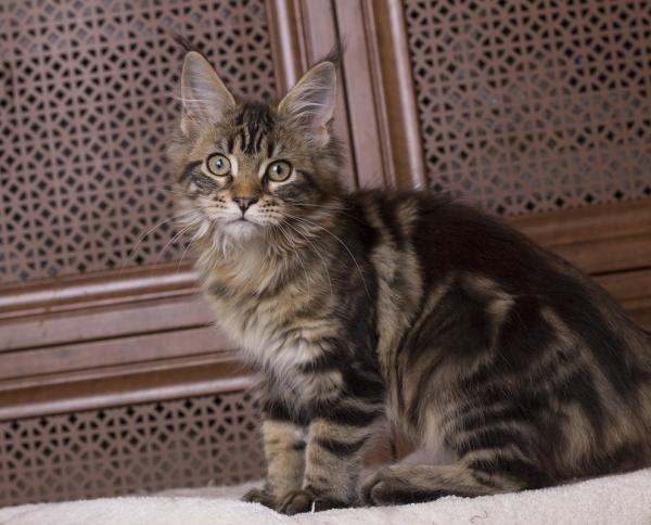 котенок мейн кун Evita из питомника Estate Pearls фото в возрасте 3 месяца