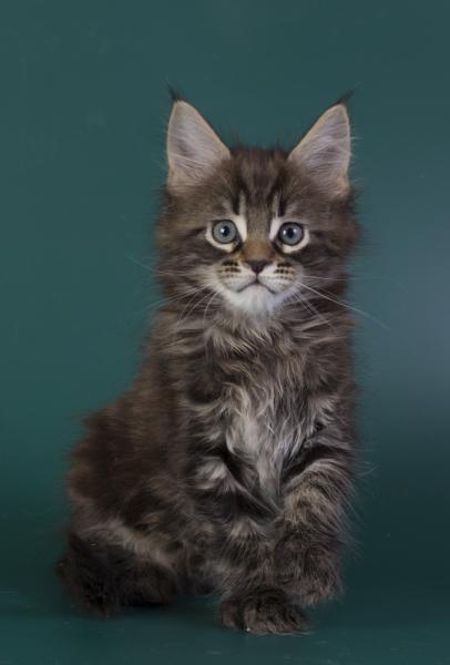котенок мейн кун Halldor из питомника Estate Pearls*RU фото в 8 недель, окрас 22