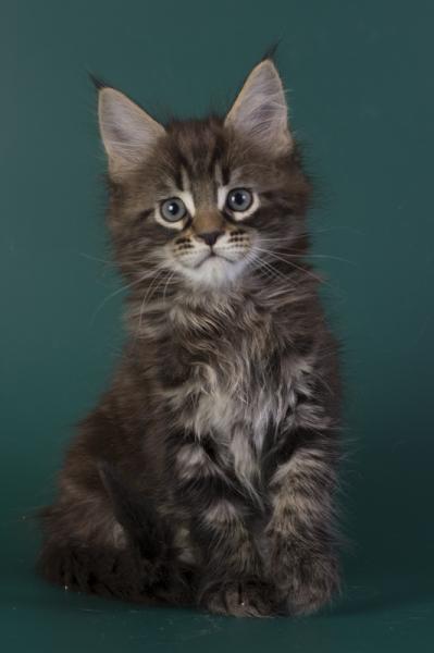 котенок мейн кун Halldor из питомника Estate Pearls*RU фото в 8 недель, окрас n 22