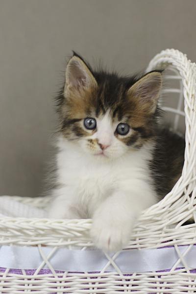 фото котенка мейн кун Quinta Estate PearlS, окрас черная пятнистая с белым, в возрасте 1 месяц,