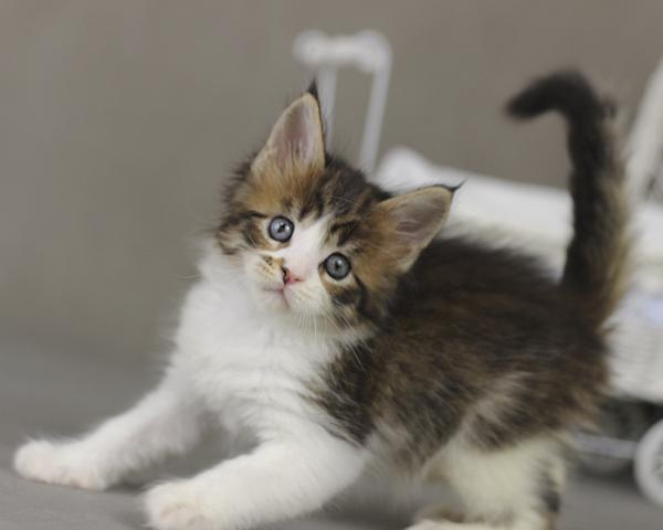 фото котенка мейн кун Quinta Estate PearlS, окрас черная пятнистая с белым, n 03 24 в возрасте 1 месяц,