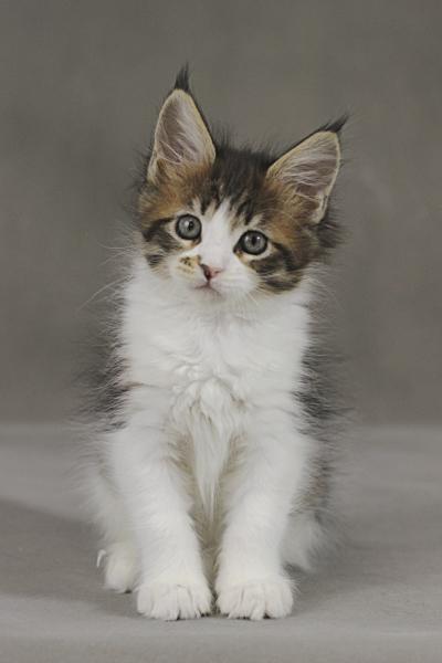 фото котенка мейн кун Quinta Estate PearlS, окрас черная пятнистая с белым, в возрасте 1,5 месяца,окрас n 03 24 черная пятнистая с белым