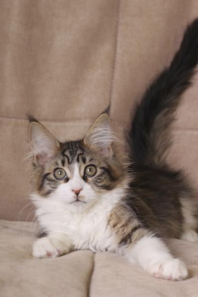 котенок мейн кун Quitterie Estate Pearls возраст 3,5 месяца