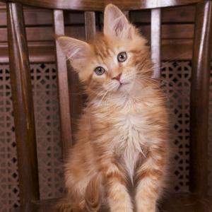 котенок мейн кун Begonia из питомника Estate pearls*RU фото в возрасте 3 месяца окрас d 22