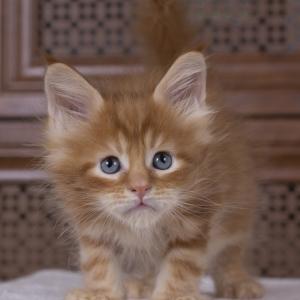 красный мраморный котенок мейн кун Bubba Estate Pearls*RU фотография в возрасте 1.5 месяца