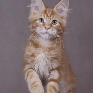 красный мраморный котенок мейн кун Bubba Estate Pearls*RU фотография в возрасте 3 месяца
