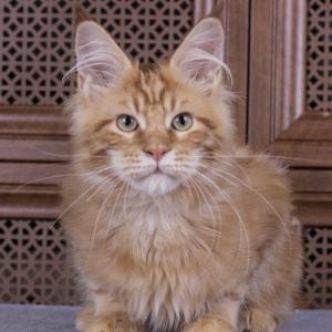 красный мраморный котенок мейн кун Bubba Estate Pearls*RU фотография в возрасте 4 месяца