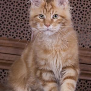 фотография в возрасте 4 месяца, красный мраморный котенок мейн кун Bubba Estate Pearls*RU