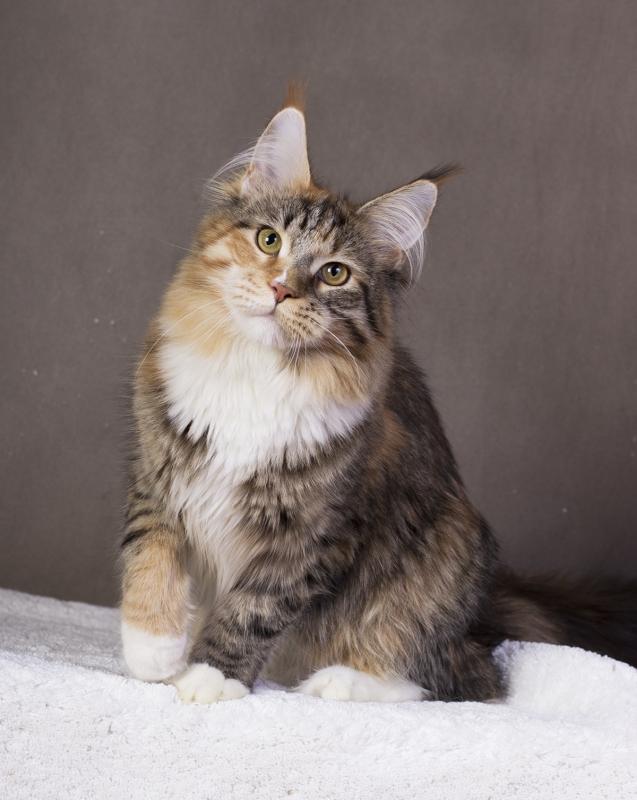 котенок мейн кун Campar iфото в 6 месяцей окрас f 09 24 из питомника Estate Pearls*RU
