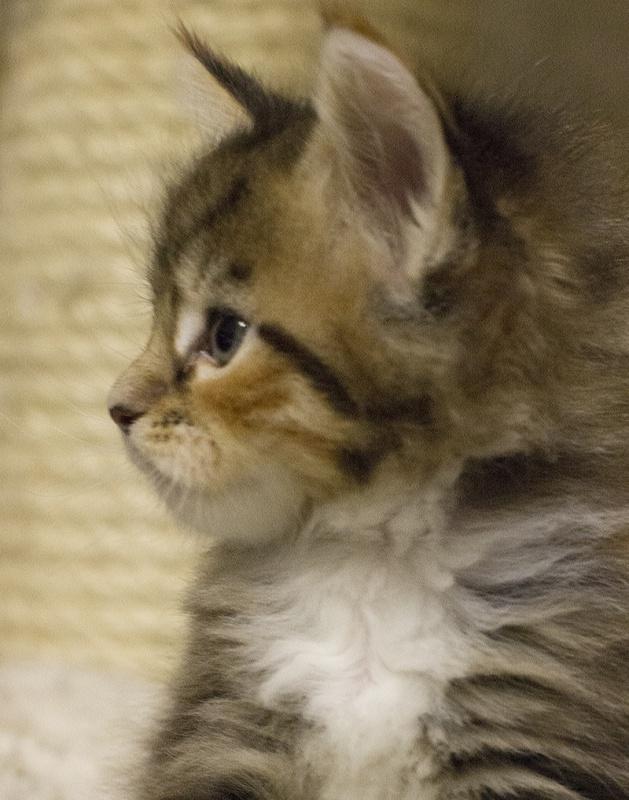 котенок мейн кун Campari окрас f 09 24 из питомника Estate Pearls*RU фото в возрасте 3 недели