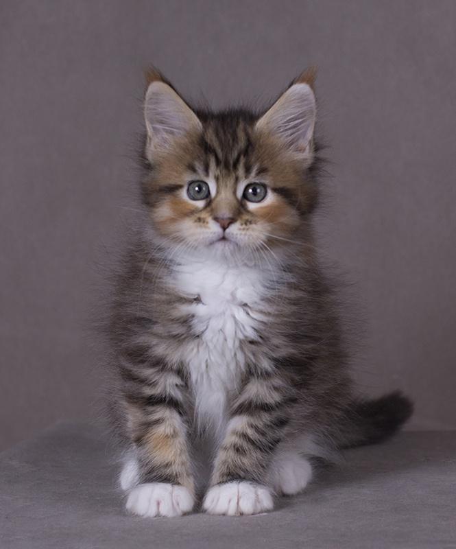 котенок мейн кун Campari окрас f 09 24 из питомника Estate Pearls*RU фото в возрасте 1,2 месяца