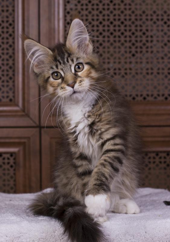 котенок мейн кун Campari окрас f 09 24 из питомника Estate Pearls*RU фото в возрасте 2,5 месяца