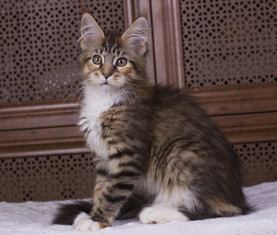 котенок мейн кун Campar iфото в возрасте 2,5 месяца окрас f 09 24 из питомника Estate Pearls*RU