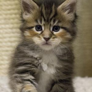 кошка мейн кун Campari окрас f 09 24 из питомника Estate Pearls*RU фото в возрасте 3 недели