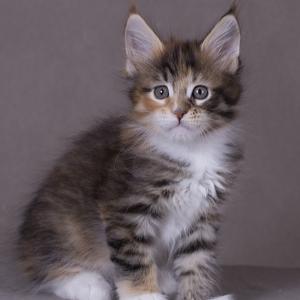 котенок мейн Confetti из питомника Estate Pearls*RU окрас f 0924 фото в возрасте 1,2 месяца
