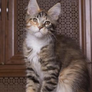 котенок мейн Confetti из питомника Estate Pearls*RU окрас f 0924 фото в возрасте 2,5 месяца