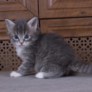 котенок мейн кун Denise Estate Pearls. фото в возрасте 1 месяц, окрас a 09 23
