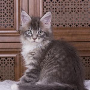 котенок мейн кун Denise из питомника Estate Pearls. фото в возрасте 2,5 месяца, окрас a 09 23