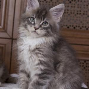 котенок мейн кун Denise из питомника Estate Pearls. фото в возрасте 2,5 месяц, окрас голубой тигровый с белым