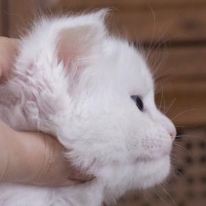 белый котенка мейн кун Desire из питомника Estate Pearls. фото в возрасте 1 месяц, фото в профиль